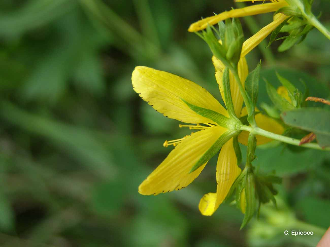 Hypericum perforatum