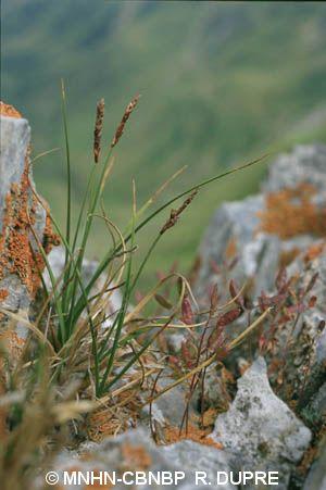 Carex rupestris
