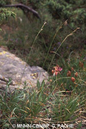 Carex sempervirens