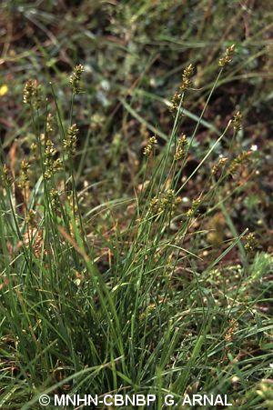 Carex pairae