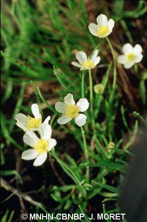 Ranunculus angustifolius