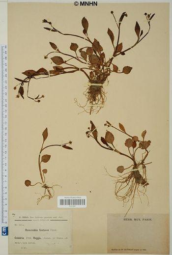 Ranunculus fontanus
