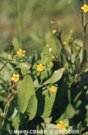 Ranunculus ophioglossifolius