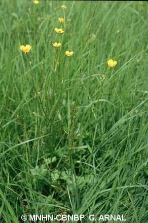 Ranunculus polyanthemoides