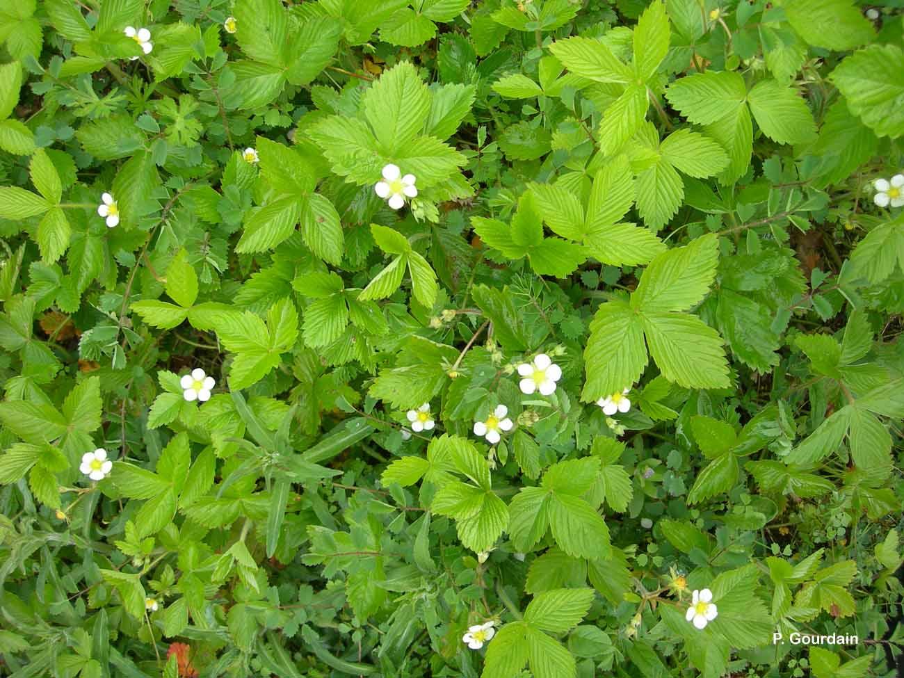 Fragaria vesca l 1753 fraisier sauvage fraisier des bois pr sentation - Jonquille sauvage des bois ...