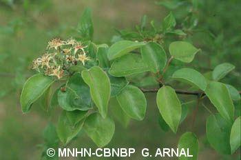 Pyrus communis subsp. pyraster