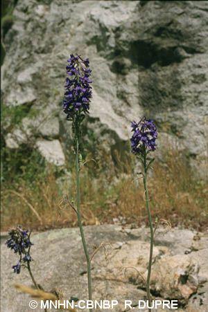 Delphinium fissum