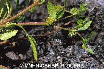 Ranunculus lateriflorus