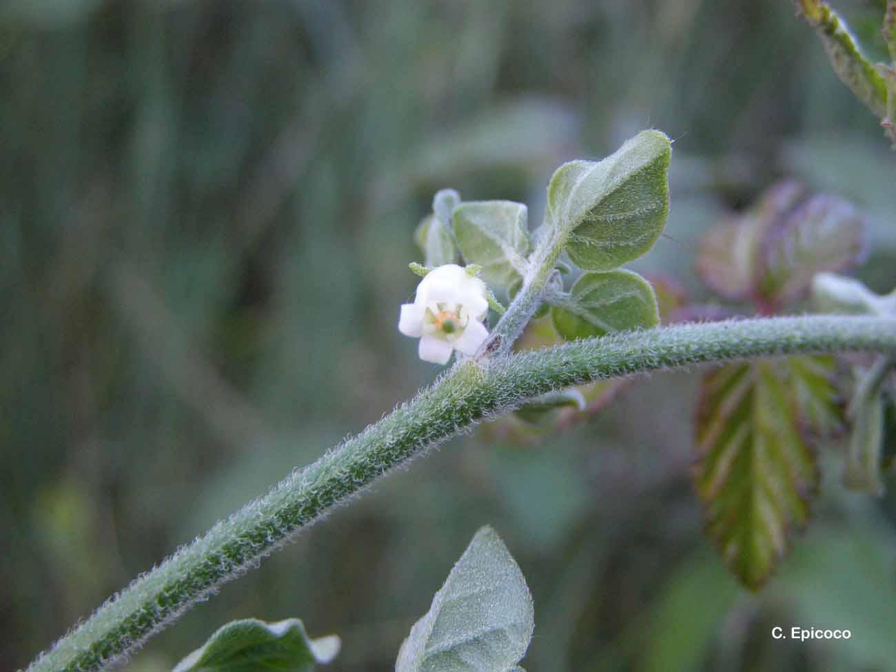 Salpichroa origanifolia