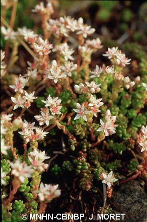 Sedum brevifolium