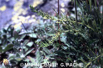 Thesium alpinum