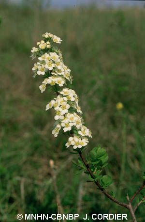 Spiraea hypericifolia subsp. obovata