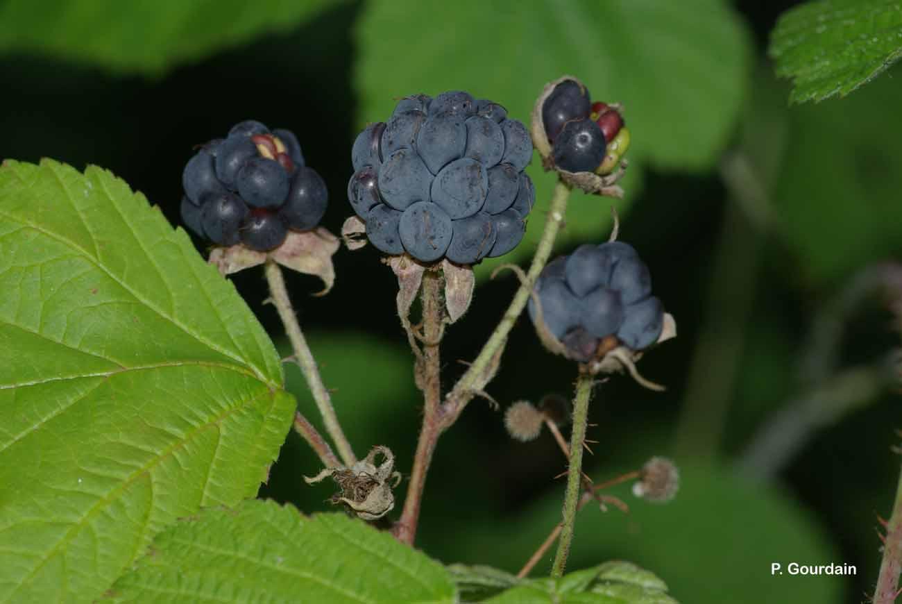 rubus caesius l 1753 rosier bleue ronce fruits bleus ronce bleue statuts. Black Bedroom Furniture Sets. Home Design Ideas