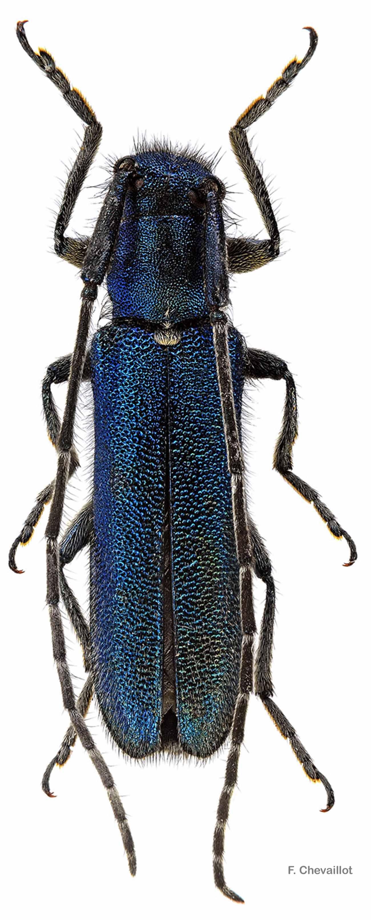 Agapanthia intermedia