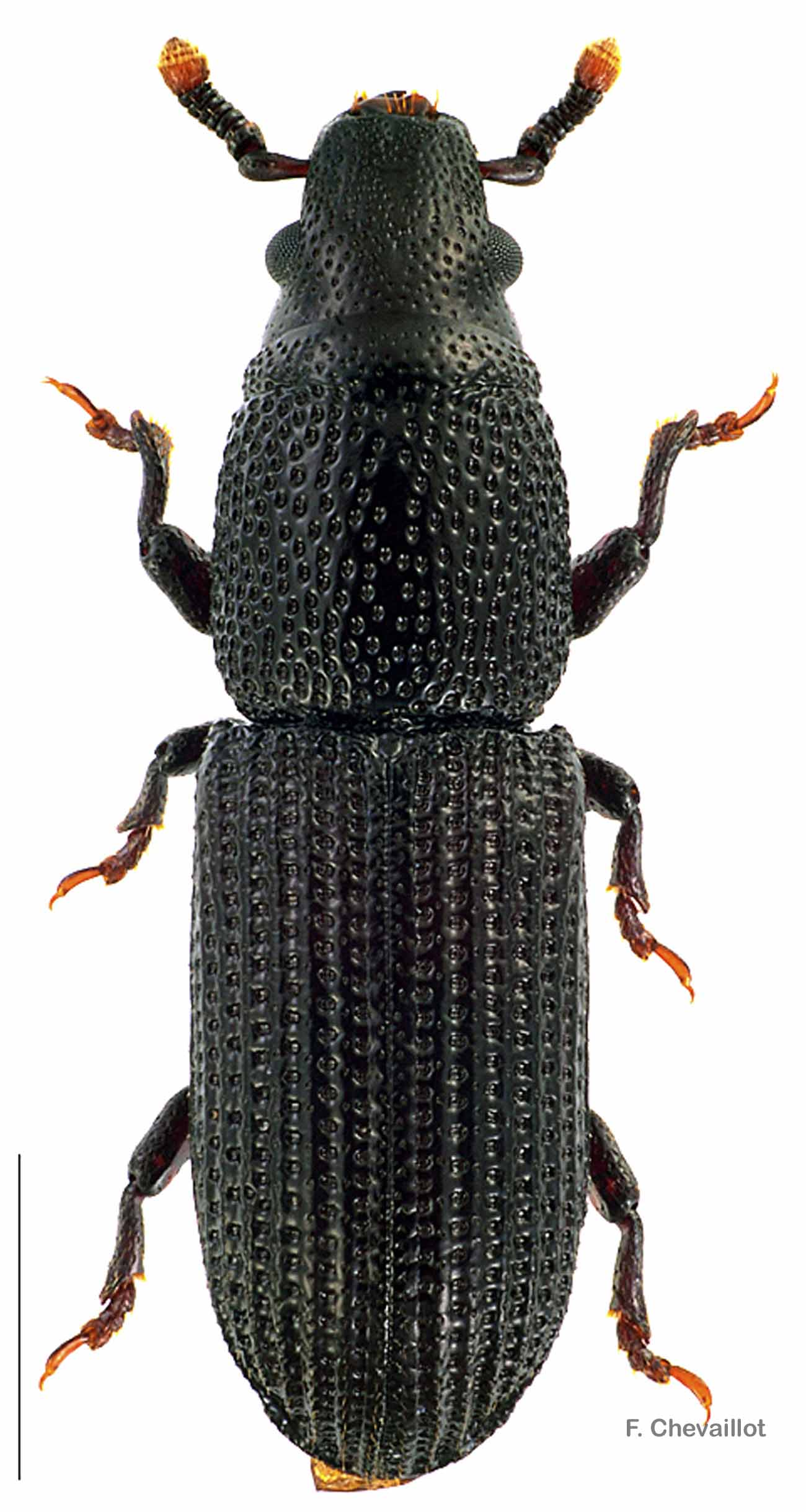Rhyncolus elongatus