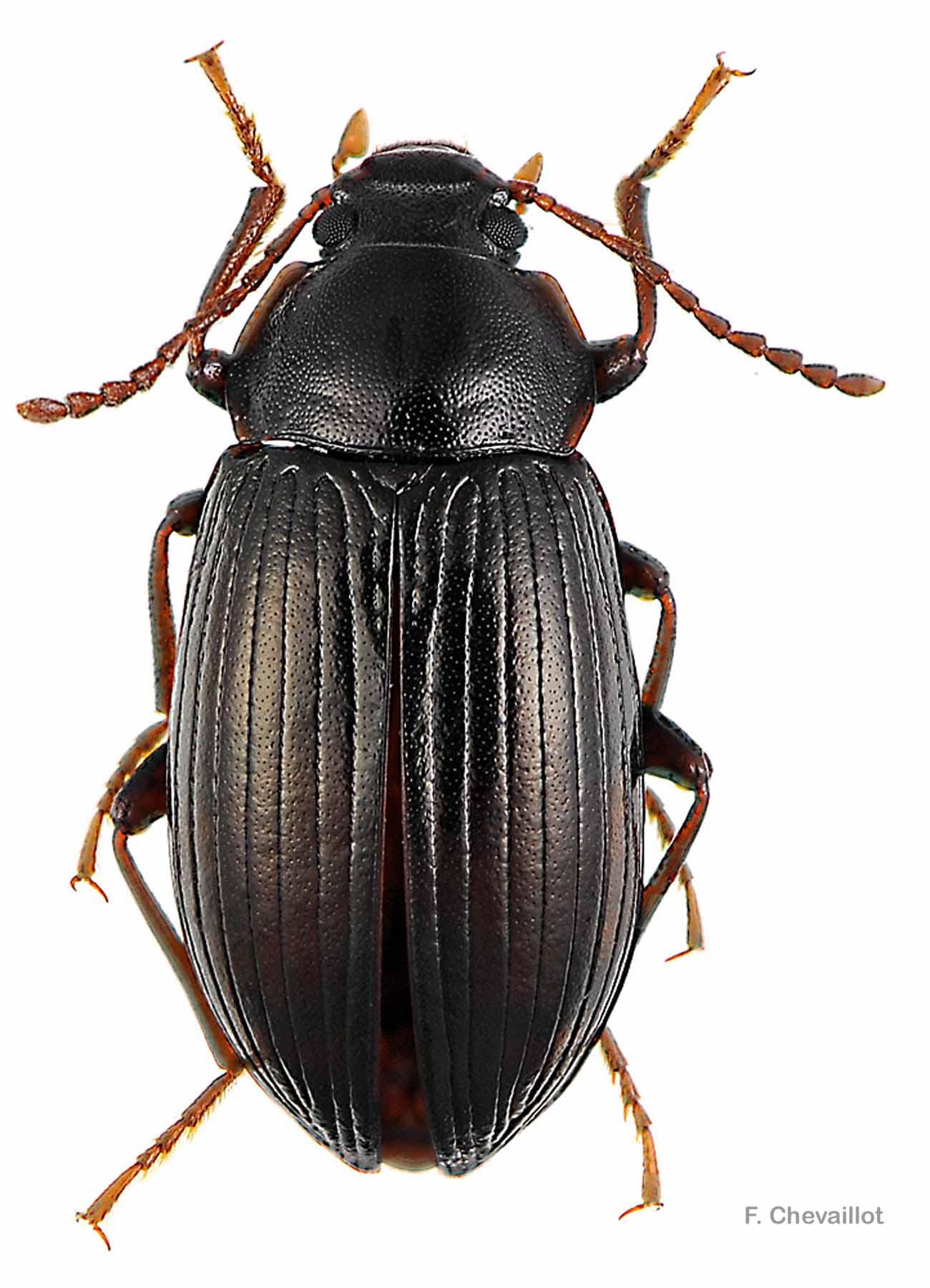 Nalassus dryadophilus