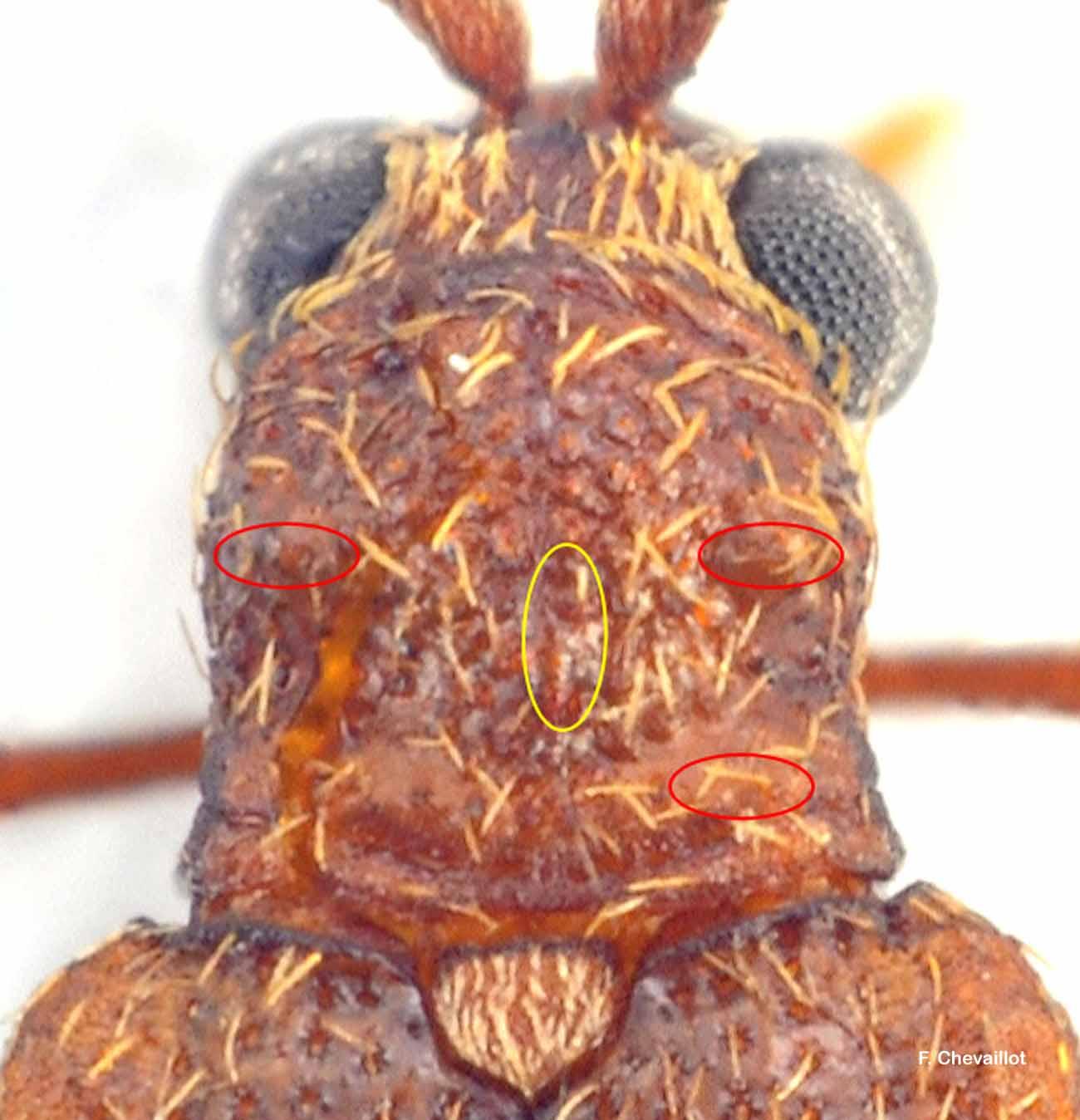 Ptinus subpillosus