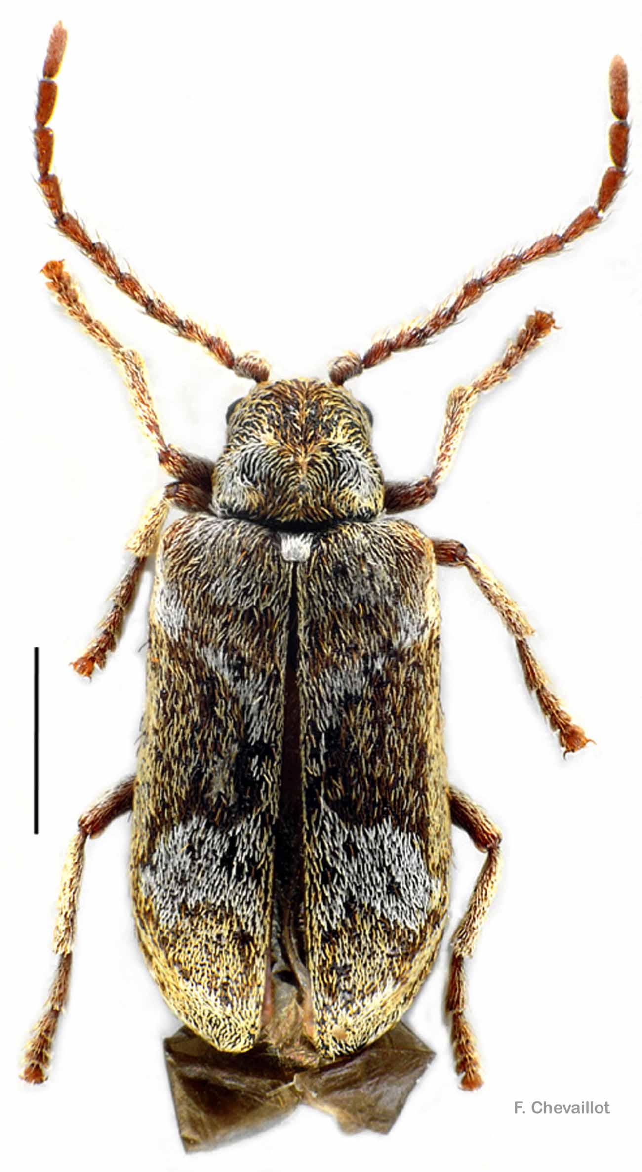 Ptinomorphus imperialis