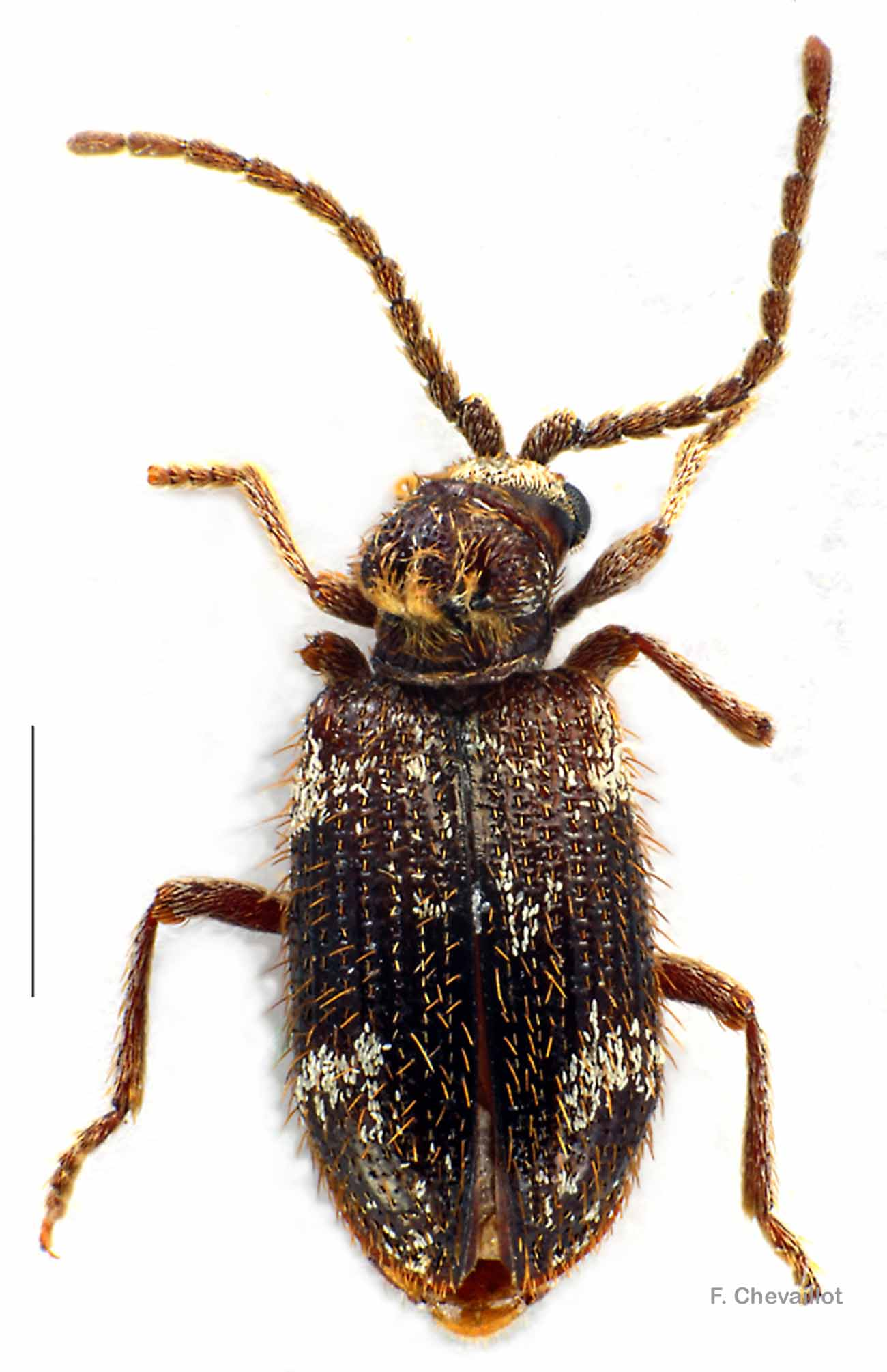 Dignomus irroratus