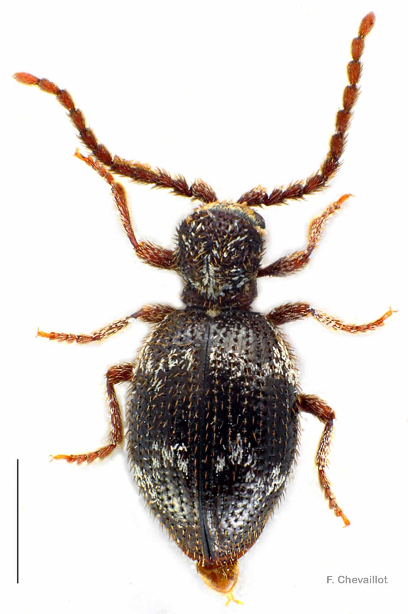 Ptinus lichenum