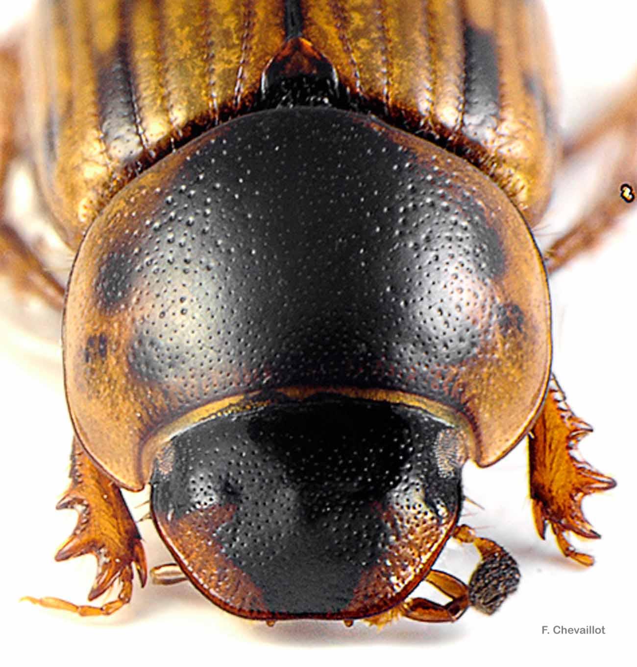 Volinus sticticus