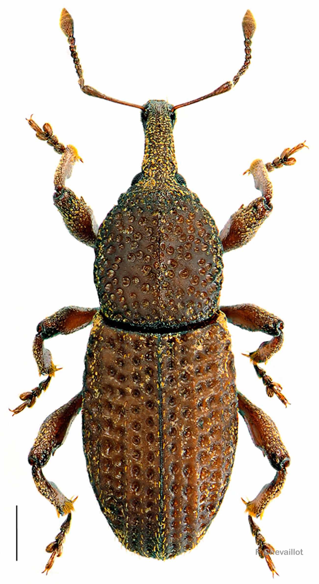 Mitoplinthus caliginosus