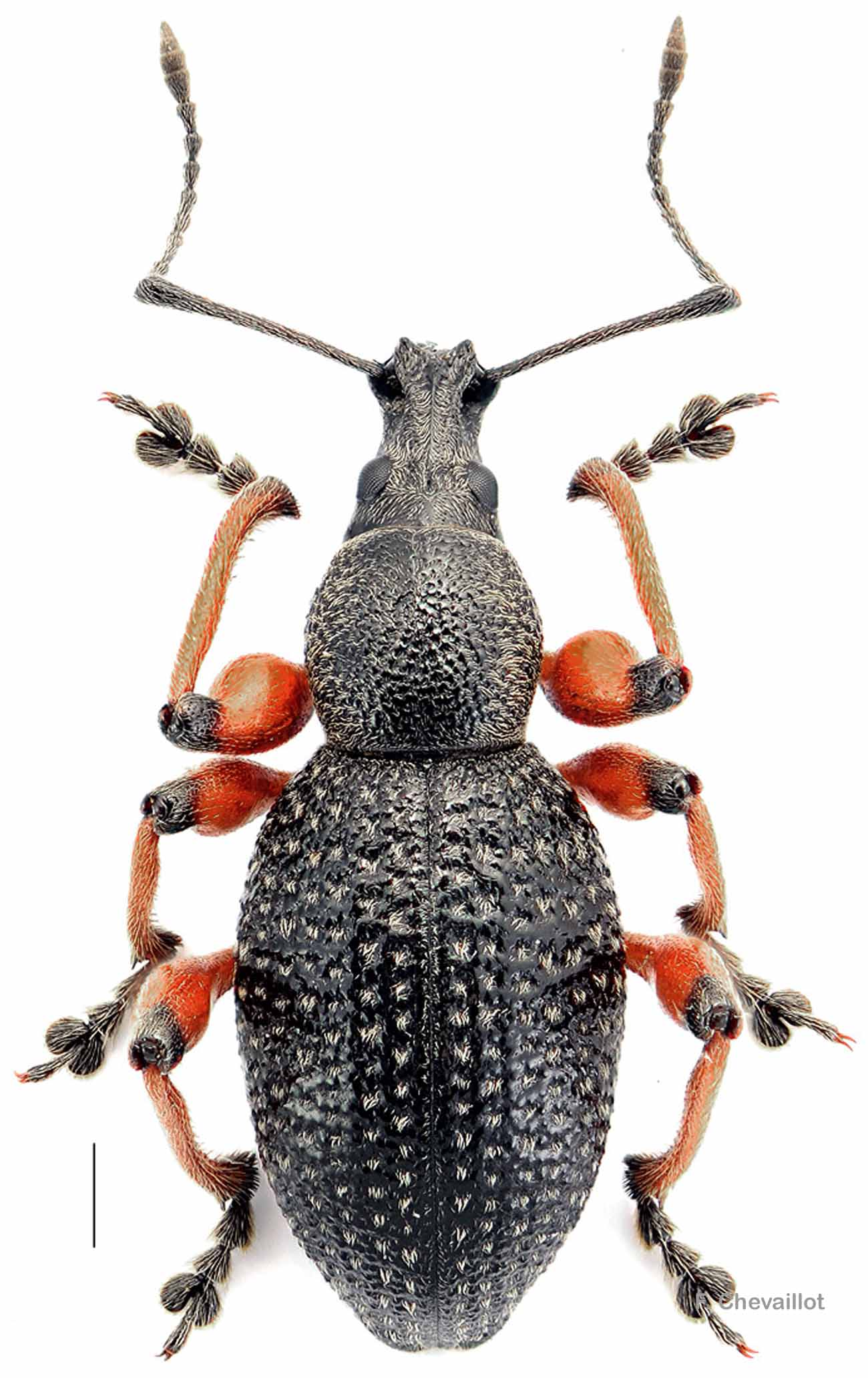 Otiorhynchus coecus