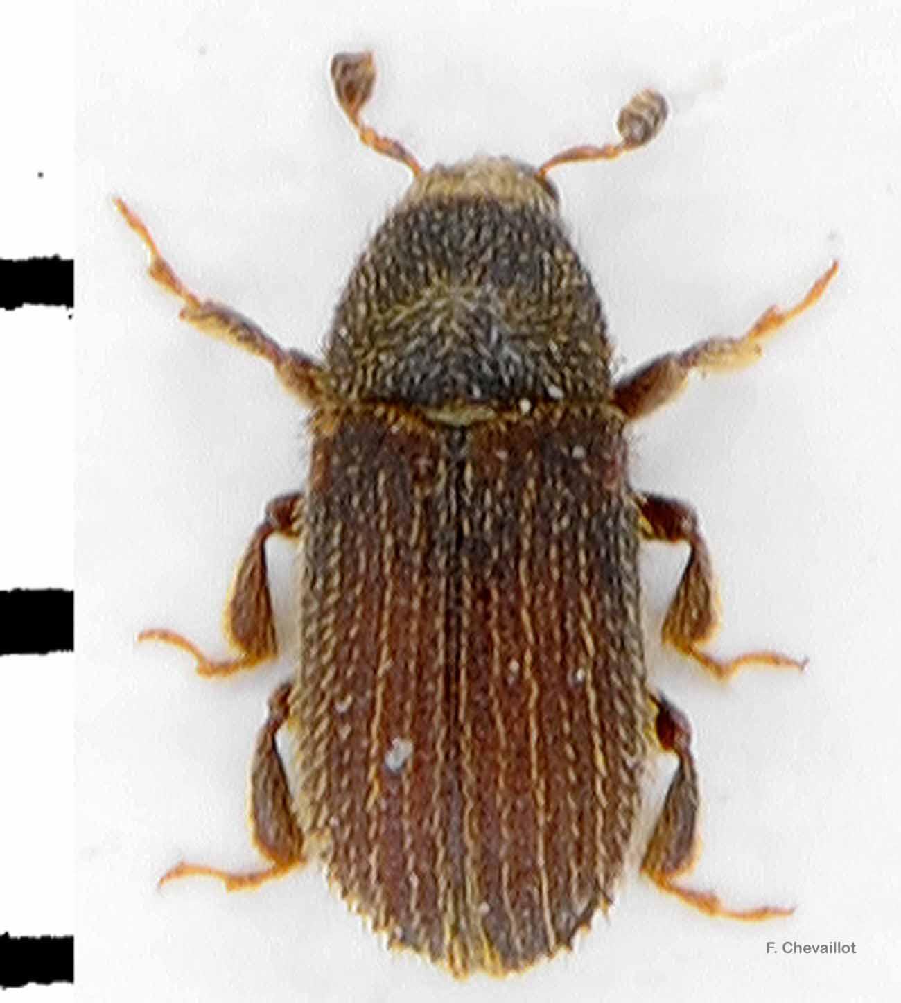 Phloeotribus spinulosus
