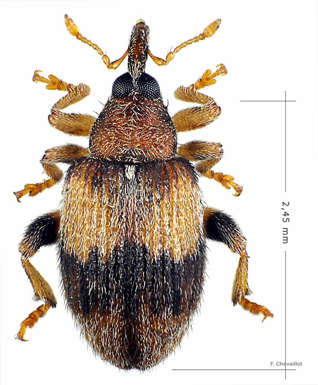 Rhynchaenus xylostei