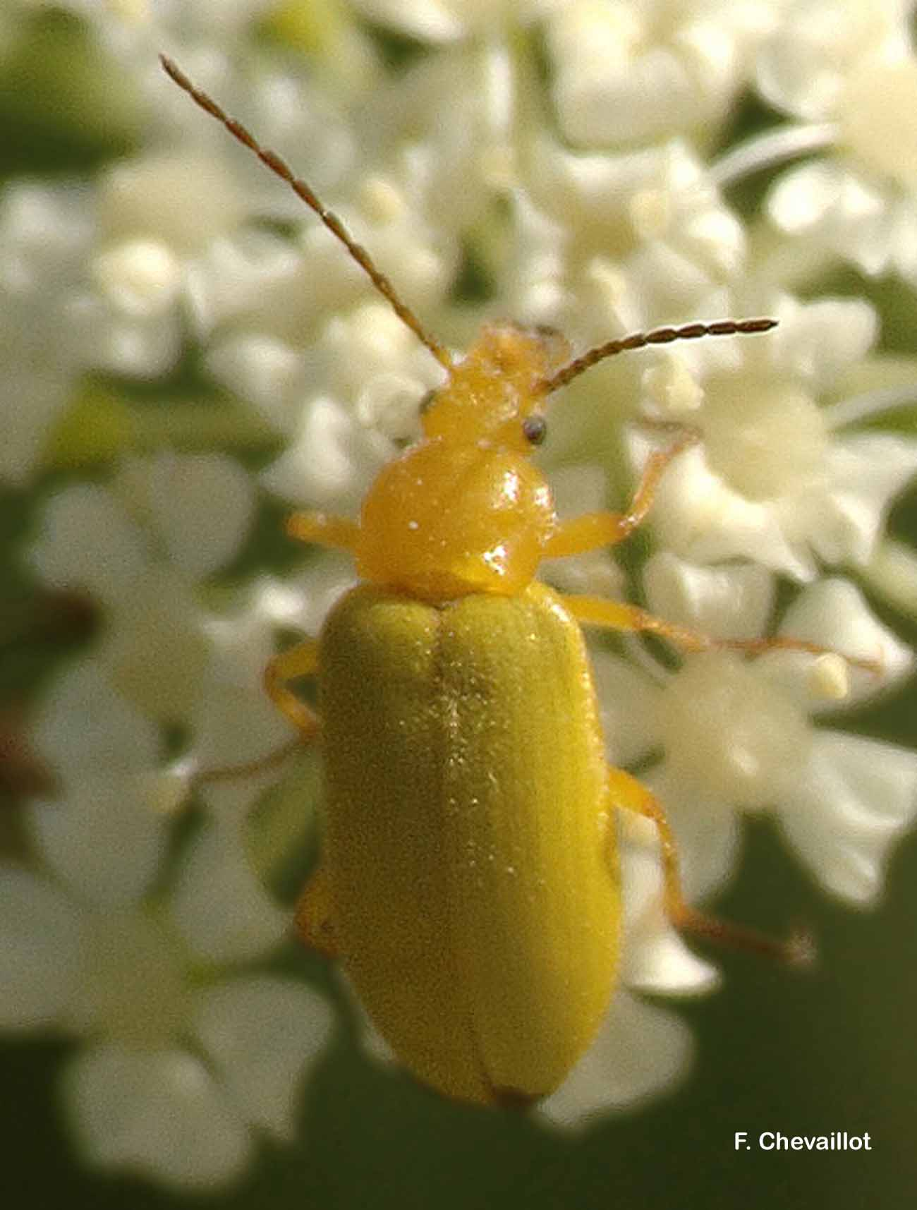 Cteniopus sulphureus