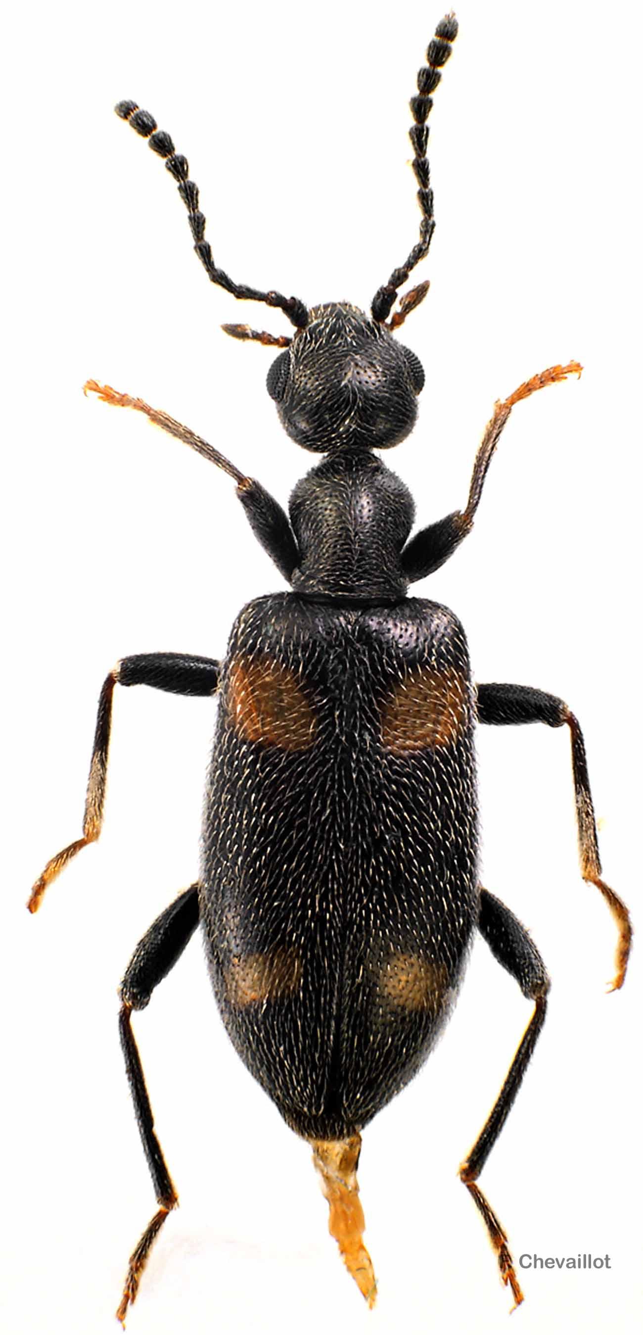 Stricticollis longicollis