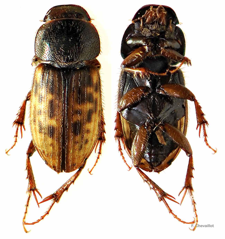 Heptaulacus testudinarius