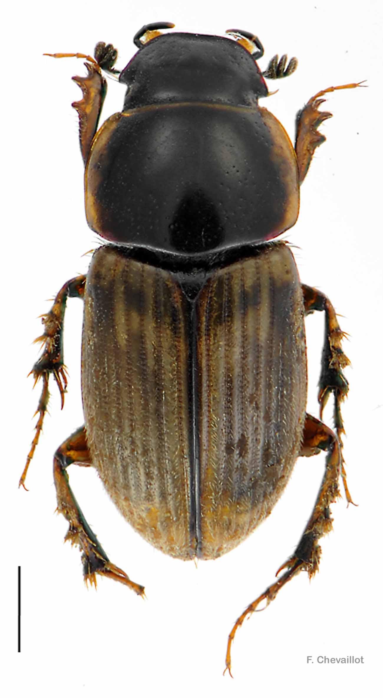 Melinopterus prodromus