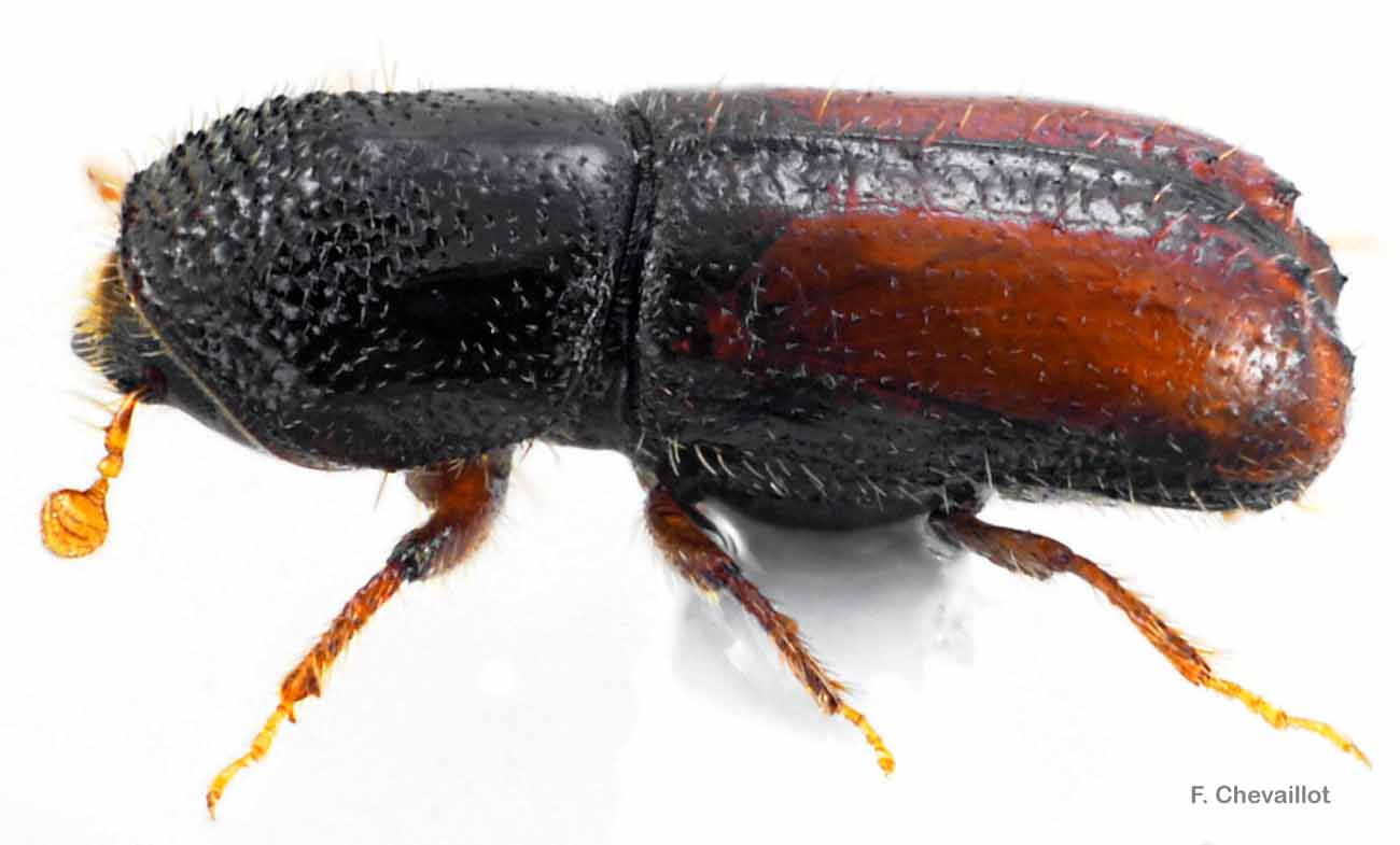 Pityogenes chalcographus