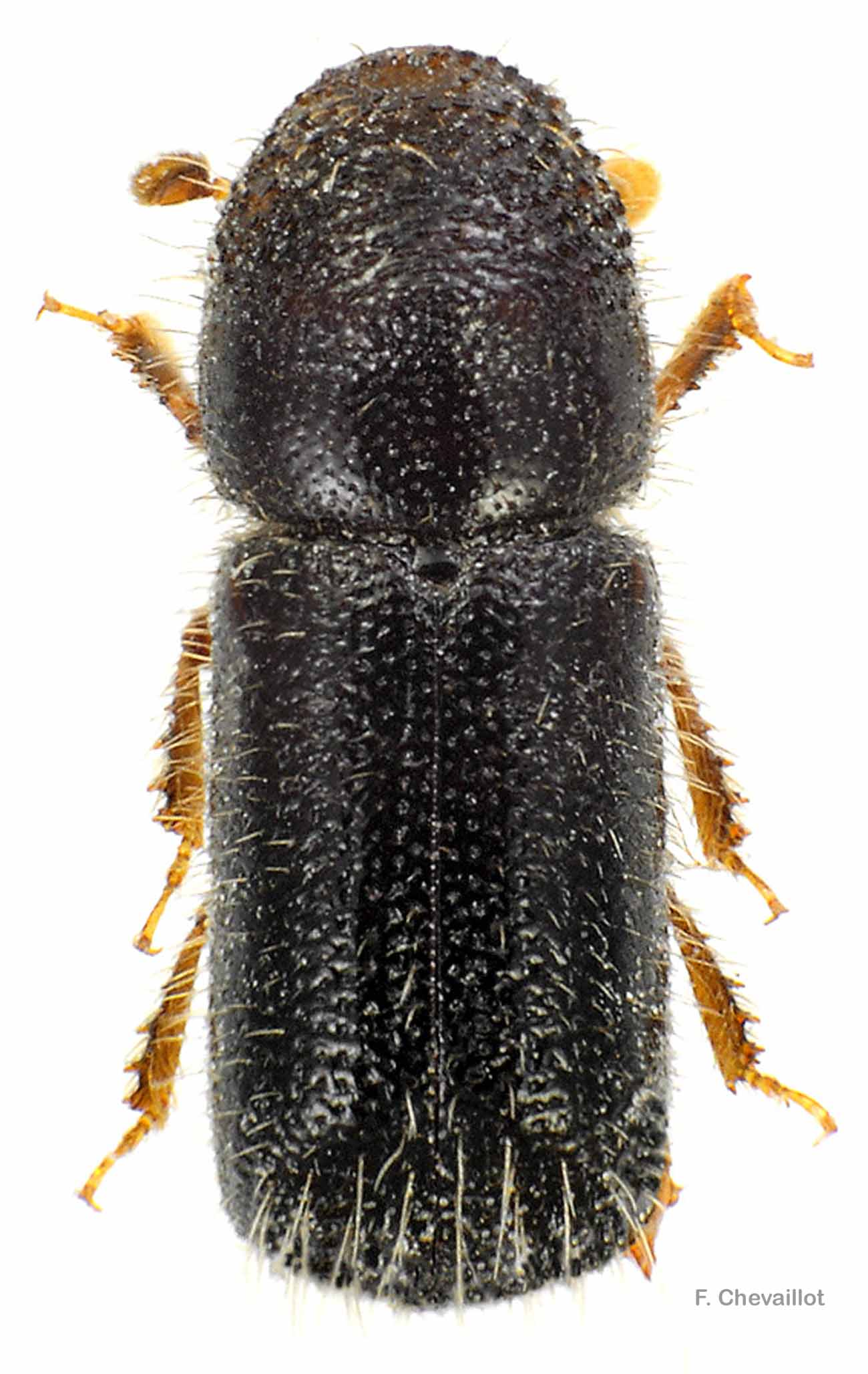 Taphrorychus bicolor