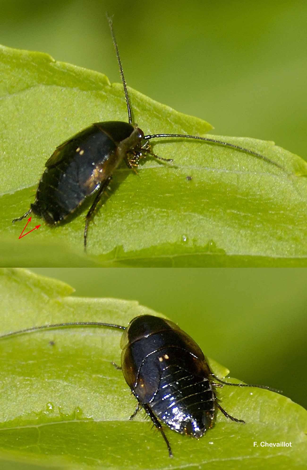 Ectobius lucidus