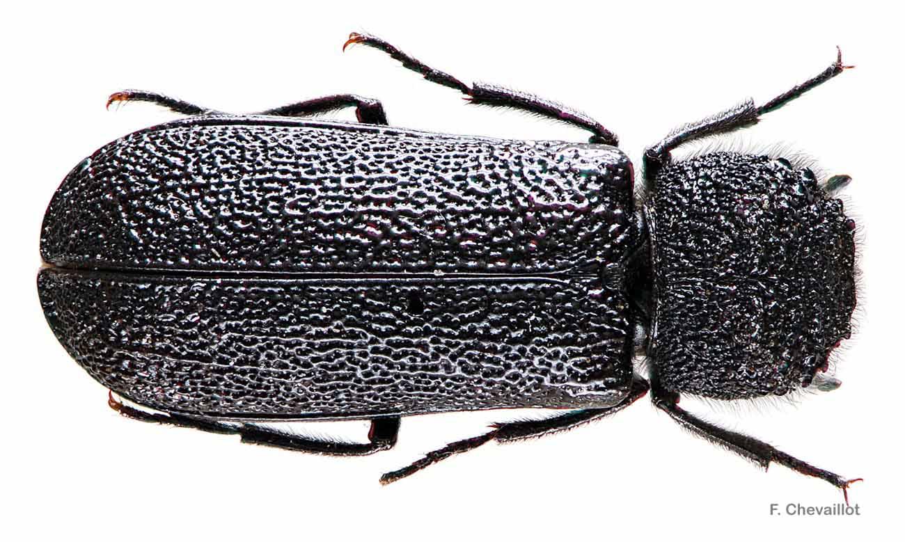 Bostrichus capucinus