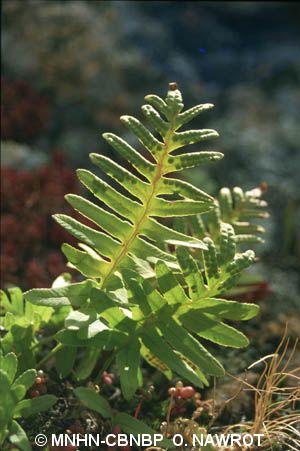 Polypodium cambricum