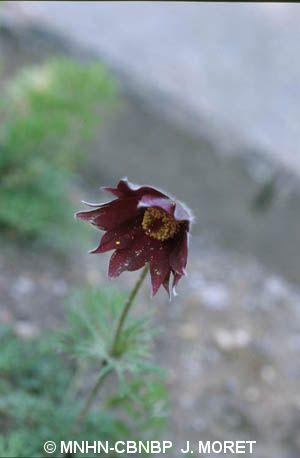 Anemone rubra