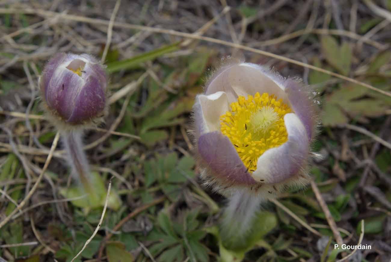 Anemone vernalis