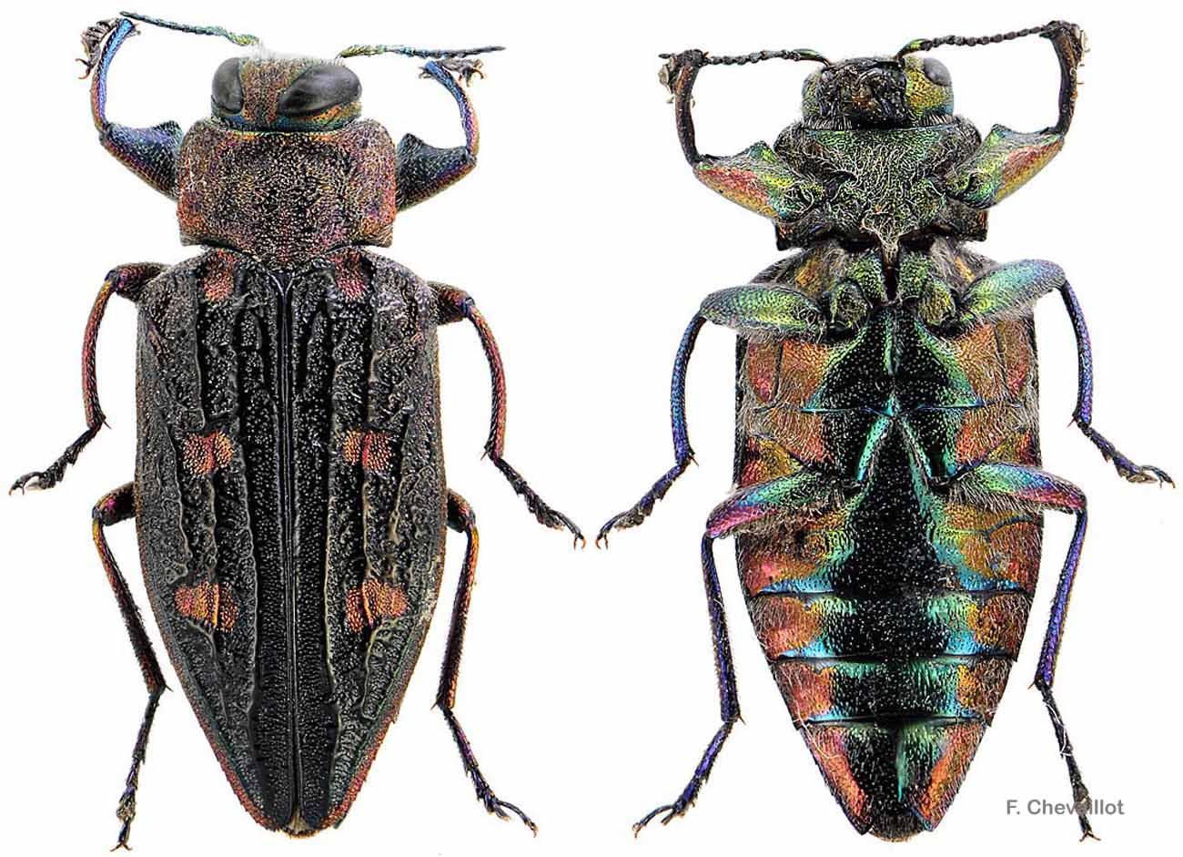 Chrysobothris chrysostigma