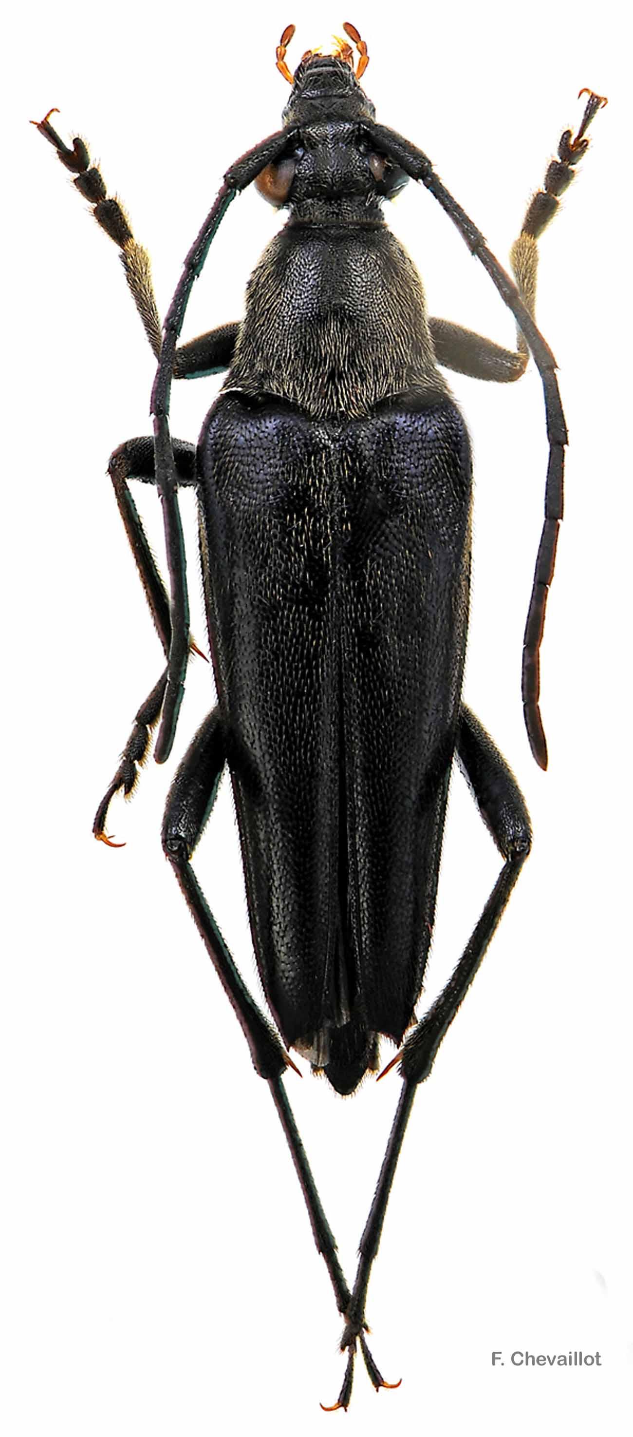 Etorofus pubescens