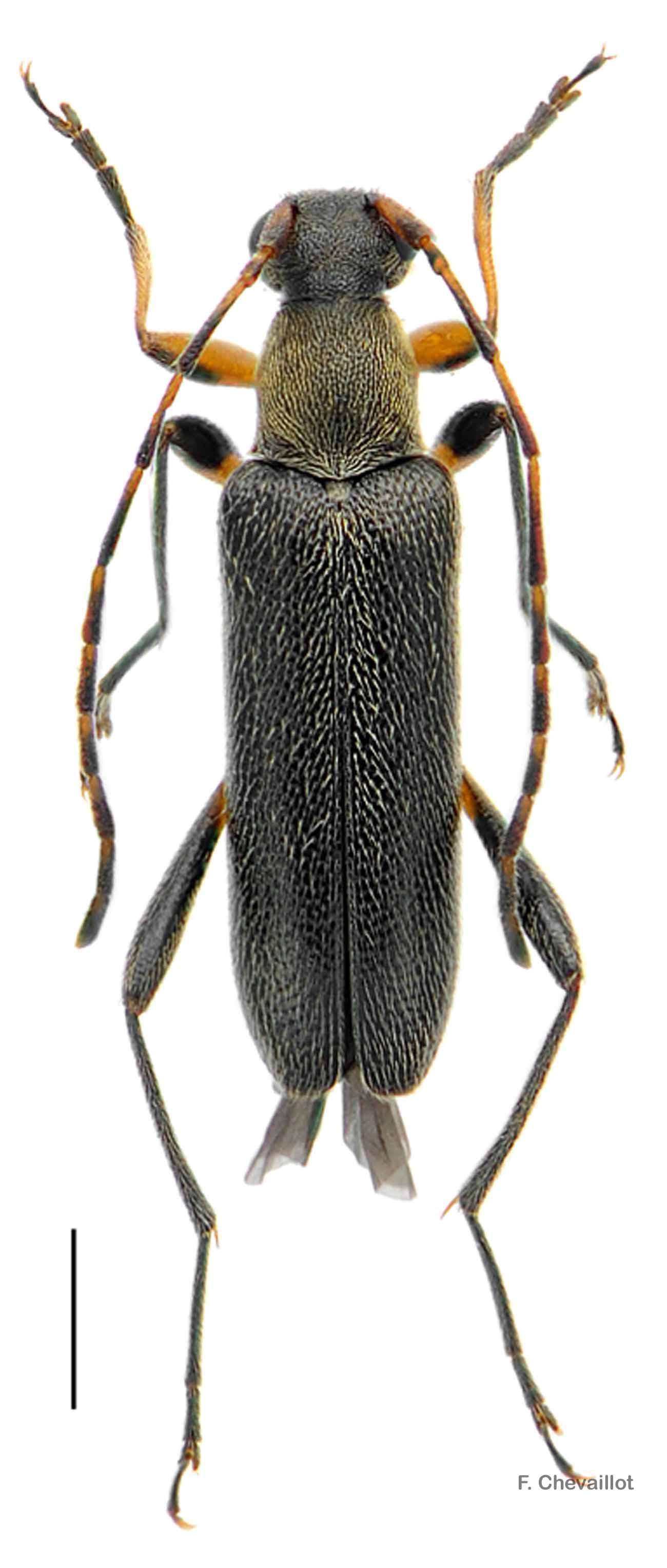 Grammoptera ruficornis