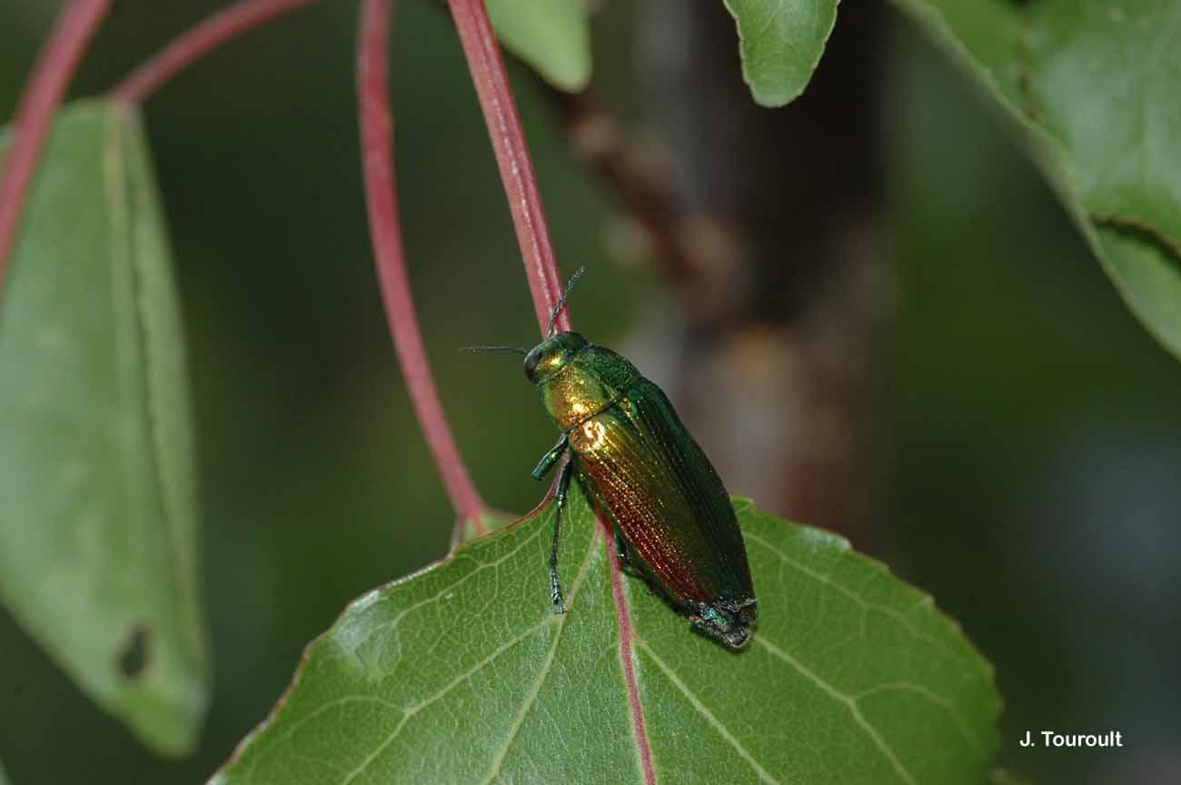 Eurythyrea micans