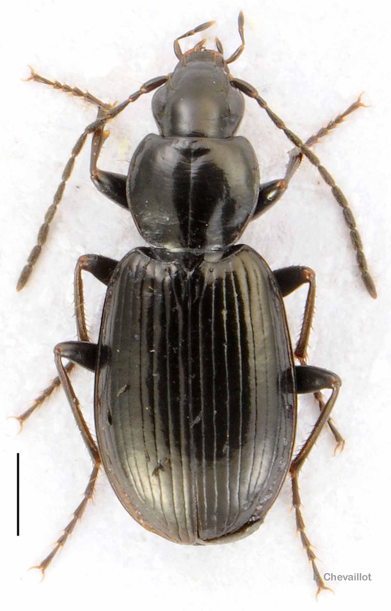 Agonum fuliginosum