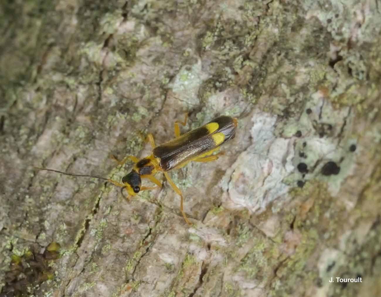 Malthinus flaveolus