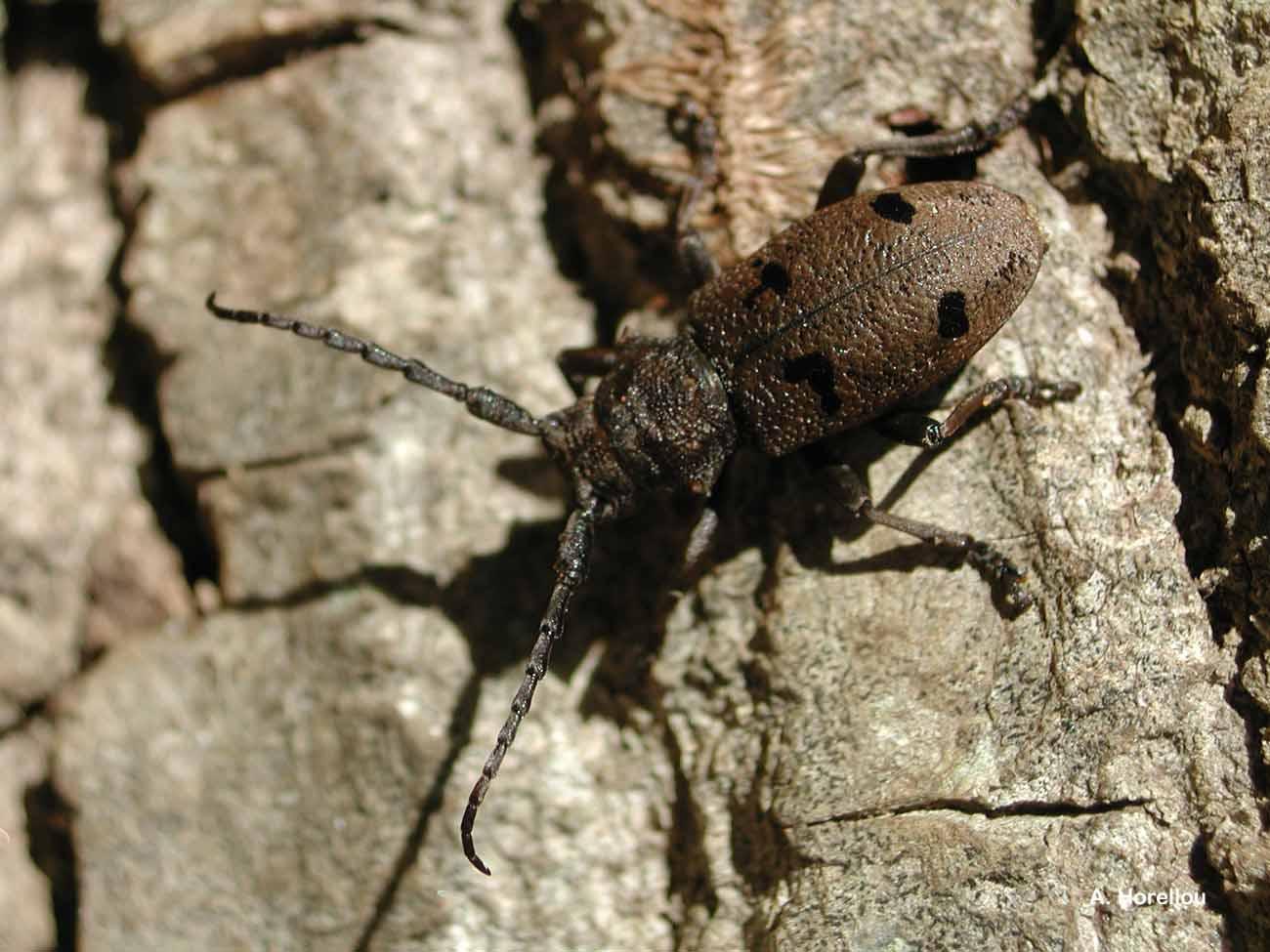 Herophila tristis