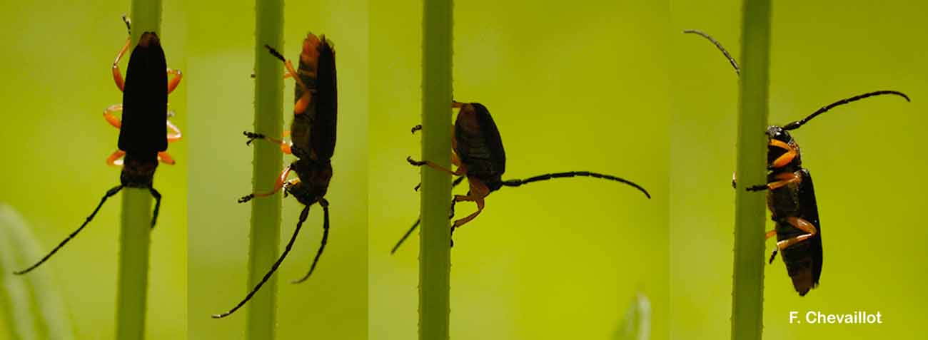 Phytoecia affinis
