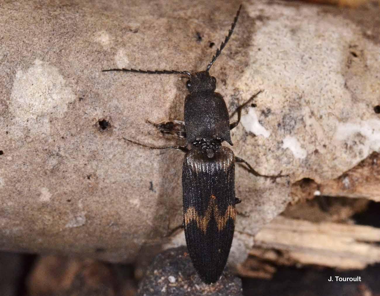 Diacanthous undulatus