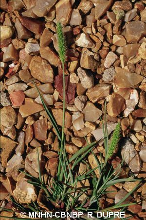 Setaria italica subsp. viridis